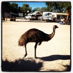 Good morning Mr/Mrs Emu! Big bird comes to say hi before our neighbour chases him off with a broom...