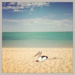 This pelican has the right idea. Swimmers on, time to laze on the Monkey Mia sand.