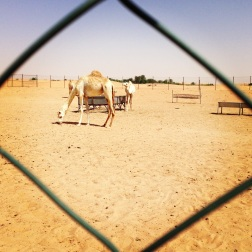Hanging with the camels at the camel farm