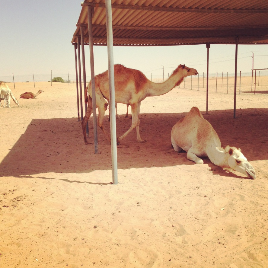 Camels seeking shade from the desert heat...