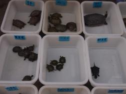 Turtles at Qingping Makret