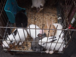 Rabbits at Qingping Market